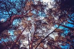 Μπλε ουρανός ορατός μέσω των κορωνών των δέντρων στοκ εικόνες