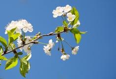 Μπλε ουρανός λουλουδιών Στοκ Φωτογραφίες