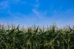 μπλε ουρανός πεδίων καλαμποκιού Στοκ εικόνες με δικαίωμα ελεύθερης χρήσης