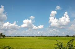μπλε ουρανός ρυζιού πεδί&o Στοκ φωτογραφία με δικαίωμα ελεύθερης χρήσης