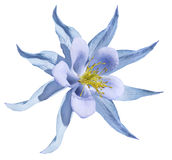 Μπλε λουλουδιών Απομονωμένος σε μια άσπρη ανασκόπηση με το ψαλίδισμα του μονοπατιού Καμία σκιά closeup Όμορφα ανοικτό μπλε primro Στοκ εικόνες με δικαίωμα ελεύθερης χρήσης