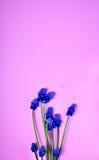 Μπλε λουλούδια άνοιξη σε μια ρόδινη επιφάνεια Στοκ εικόνες με δικαίωμα ελεύθερης χρήσης