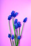 Μπλε λουλούδια άνοιξη σε μια ρόδινη επιφάνεια Στοκ φωτογραφία με δικαίωμα ελεύθερης χρήσης