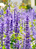 Μπλε λουλούδια άνοιξη στοκ εικόνες