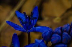 Μπλε λουλούδια άνοιξη Στοκ εικόνα με δικαίωμα ελεύθερης χρήσης