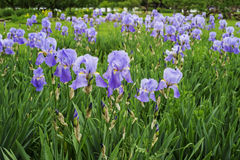 Μπλε λουλούδια ίριδων στο πάρκο Στοκ εικόνα με δικαίωμα ελεύθερης χρήσης