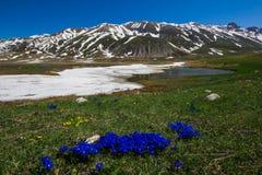 Μπλε λουλούδια γεντιανών Campo Imperatore στο Abruzzo Στοκ Εικόνα
