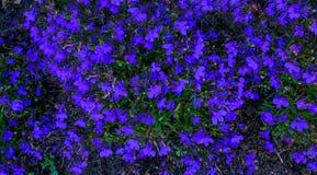 Μπλε λουλούδια επίγειας κάλυψης Lobelia στις αρχές του καλοκαιριού Στοκ Εικόνα