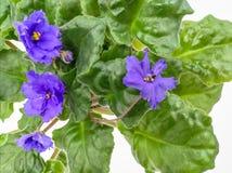 Μπλε λουλούδια και κλάδοι φυλλώματος Στοκ εικόνα με δικαίωμα ελεύθερης χρήσης