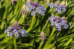 Μπλε λουλούδια και οφθαλμοί peruviana scilla Στοκ φωτογραφία με δικαίωμα ελεύθερης χρήσης