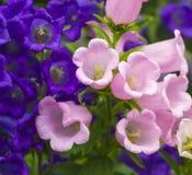 Μπλε λουλούδια κουδουνιών, πορφυρό λουλούδι κουδουνιών Όμορφο ελατήριο backgroun Στοκ Φωτογραφίες