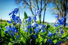 Μπλε λουλούδια κουδουνιών που περιβάλλονται από την πράσινη χλόη στοκ φωτογραφίες με δικαίωμα ελεύθερης χρήσης