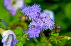 Μπλε λουλούδια νήματος ή Bluemink, Blueweed, πόδι γατών, μεξικάνικο πινέλο στο Ίνσμπρουκ Στοκ φωτογραφία με δικαίωμα ελεύθερης χρήσης