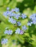 Μπλε λουλούδια παγετού του Jack στοκ εικόνα