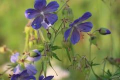 μπλε λουλούδια πεδίων Στοκ Εικόνες