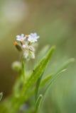 Μπλε λουλούδια προς το λιβάδι Στοκ Φωτογραφίες