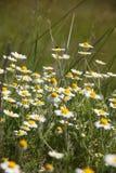 Μπλε λουλούδια προς το λιβάδι Στοκ φωτογραφίες με δικαίωμα ελεύθερης χρήσης