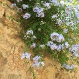 Μπλε λουλούδια στον τοίχο Στοκ Φωτογραφίες