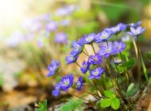 Μπλε λουλούδια της κινηματογράφησης σε πρώτο πλάνο Hepatica Nobilis Στοκ Εικόνες