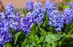 Μπλε λουλούδια του υάκινθου Στοκ εικόνες με δικαίωμα ελεύθερης χρήσης