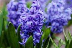 Μπλε λουλούδια του υάκινθου Στοκ φωτογραφία με δικαίωμα ελεύθερης χρήσης