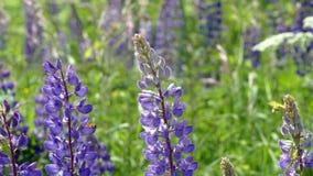 Μπλε λουλούδια το καλοκαίρι στο χωριό απόθεμα βίντεο