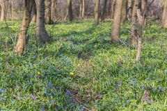 Μπλε λουλούδια δόξα--ο-χιονιού Στοκ Εικόνα