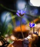 Μπλε λουλούδια anemone στην άνοιξη Στοκ Εικόνες