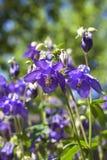 Μπλε λουλούδια Aquilegia Στοκ φωτογραφία με δικαίωμα ελεύθερης χρήσης