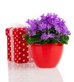 Μπλε λουλούδια campanula με το κόκκινο κιβώτιο δώρων, σημεία Πόλκα, Στοκ Φωτογραφία