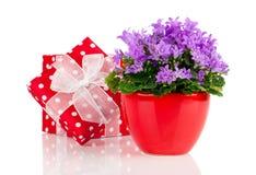 Μπλε λουλούδια campanula με το κόκκινο κιβώτιο δώρων, Στοκ φωτογραφία με δικαίωμα ελεύθερης χρήσης