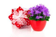 Μπλε λουλούδια campanula με το κόκκινο κιβώτιο δώρων, Στοκ εικόνα με δικαίωμα ελεύθερης χρήσης
