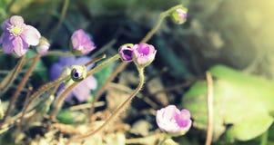 Μπλε λουλούδια Hepatica Nobilis liverwort επίσης, kidneywort, pennywort, hepatica Anemone Στοκ Εικόνες