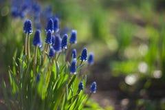 Μπλε λουλούδια Hyacinthus Muscari με την πράσινη ανάπτυξη κινηματογραφήσεων σε πρώτο πλάνο φύλλων στον κήπο ανασκόπηση φυσική Στοκ Εικόνες