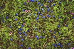 Μπλε λουλούδια Muscari ή μυοειδείς οφθαλμοί και φύλλα υάκινθων Στοκ Φωτογραφίες