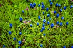 Μπλε λουλούδια Muscari ή μυοειδείς οφθαλμοί και φύλλα υάκινθων Στοκ Εικόνες