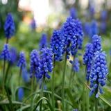 Μπλε λουλούδια muscari στον κήπο Στοκ εικόνα με δικαίωμα ελεύθερης χρήσης