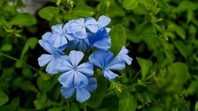 Μπλε λουλούδια plumbago Στοκ Φωτογραφία