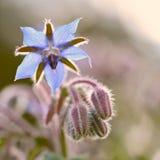Μπλε λουλούδι αστεριών στο ηλιοβασίλεμα Στοκ φωτογραφία με δικαίωμα ελεύθερης χρήσης