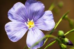 Μπλε λουλούδι λιναριού Στοκ Φωτογραφία