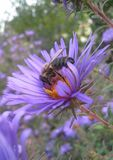 Μπλε λουλούδι και μέλισσα Στοκ Εικόνα