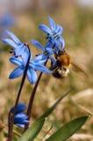 Μπλε λουλούδι και bumblebee άνοιξη scilla Στοκ Εικόνες
