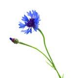 Μπλε λουλούδι καλαμποκιού Στοκ φωτογραφία με δικαίωμα ελεύθερης χρήσης