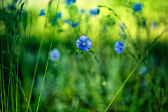 μπλε λουλούδι καλαμπο Στοκ εικόνες με δικαίωμα ελεύθερης χρήσης