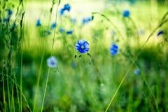 μπλε λουλούδι καλαμπο Στοκ φωτογραφία με δικαίωμα ελεύθερης χρήσης