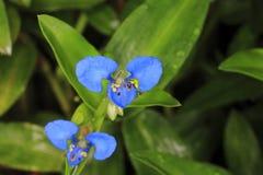 Μπλε λουλούδι κινηματογραφήσεων σε πρώτο πλάνο Στοκ Εικόνες