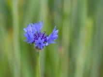 Μπλε λουλούδι κουδουνιών στην άνθιση Στοκ Εικόνα