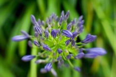 Μπλε λουλούδι μεταξύ της πράσινης χλόης Στοκ φωτογραφία με δικαίωμα ελεύθερης χρήσης