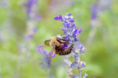 μπλε λουλούδι μελισσών Στοκ Φωτογραφία