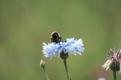 μπλε λουλούδι μελισσών Στοκ φωτογραφία με δικαίωμα ελεύθερης χρήσης